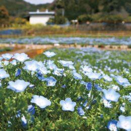 【松田町コキアの里】2021年・春の新たな観光名所に!ネモフィラ8千株が見頃!
