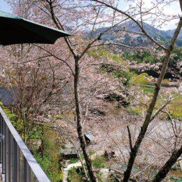 【秦野でお散歩】寺山に春の訪れ ソメイヨシノが見ごろ