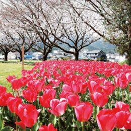 【南足柄市中部公民館】約1万株が咲き誇るチューリップの鑑賞スポット!富士山とのコラボも楽しめる!