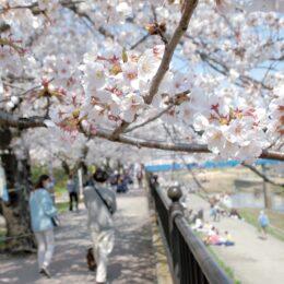 柏尾川 桜が見ごろを迎えるが… コロナ対策に意識の差
