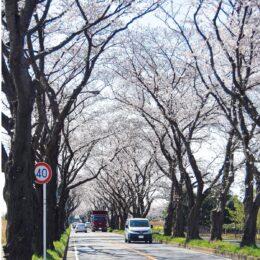 瀬谷区内各所でサクラ咲く 海軍道路や本郷公園で 2021年はらっぱは一般開放中止