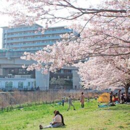 都筑区内各所でサクラ咲く 平年より早く満開~チューリップとの共演も【横浜市】