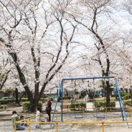 【横浜市緑区】桜が見ごろ迎える @中山駅北第一公園