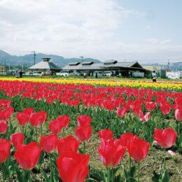 道の駅「足柄・金太郎のふるさと」でも赤、白、黄色など約1万3千本のチューリップが見頃!