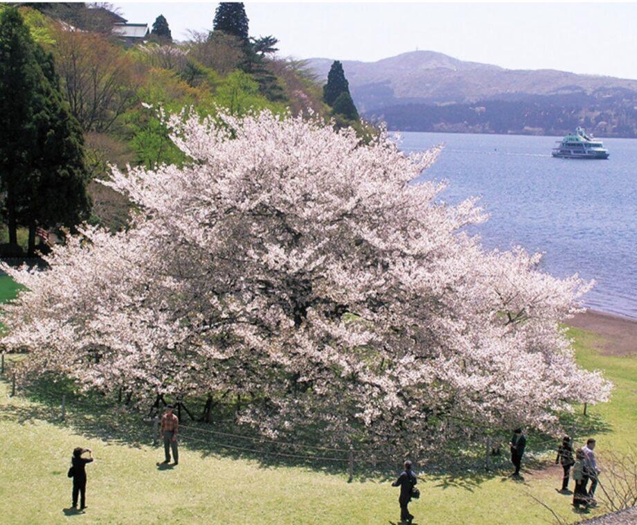 箱根芦ノ湖畔にある箱根園にそびえ立つ雄大な一本桜、樹齢約100年<2021年満開は4月中旬!>