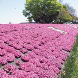芝桜2021年で見納めか「芝ざくらライン」 【相模原市南区:新戸から下磯部までの約1400m】