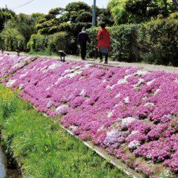 「かながわの花の名所100選」芝桜が見ごろ (芝桜まつりは中止に)@伊勢原市