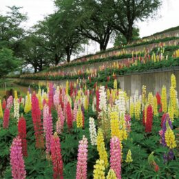 2021年は見頃早め 色とりどりのルピナ スが開花【津久井湖城山公園水の苑地】