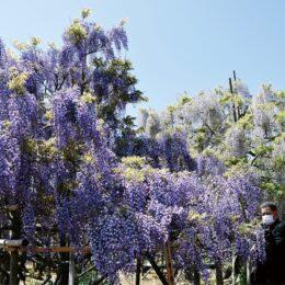 手塩に掛けて育てた7種類25本の藤の花が見頃!〈南足柄市 長井さん宅〉