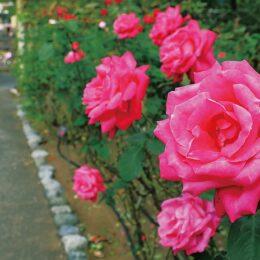 大磯城山公園で学習講座「バラの魅力とその楽しみ方」5月22日開催 受け付けは5月ン1日から