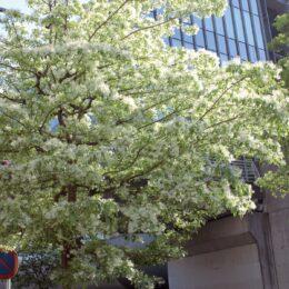 【横浜市都筑区】セン南駅徒歩5分「これはナンジャモンジャ!?」 今が見頃のヒトツバタゴ