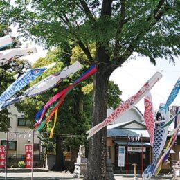 約50匹遊泳ー鯉のぼりの伝統を守り継ぐ【相模原市中央区:氷川神社】