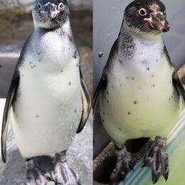 『素敵な愛称つけて』新江ノ島水族館のフンボルトペンギン2羽  【受け付けは4月11日(日)まで】