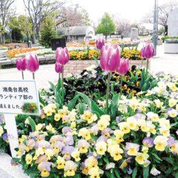 高校生らが手植え《湘南台公園の花壇 春めく》チューリップ300本やパンジーなどが見頃【藤沢市】