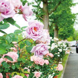 「はまみらい」など約30種のバラが開花@俣野公園 メモリアルグリーン