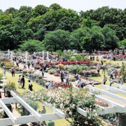 <川崎市多摩区・生田緑地ばら苑>見頃つづく、鮮やかに色づく花園:春の一般開放2021年