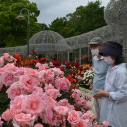 小田原フラワーガーデンで2021年『春のローズフェスタ』開催中!色彩豊かな春バラが見頃!