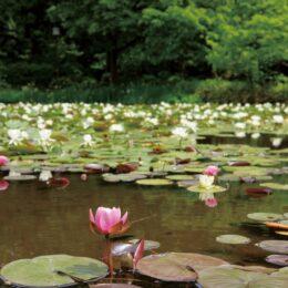 横浜市都筑区のせせらぎ公園で、色鮮やかなスイレンが初夏の訪れを告げる