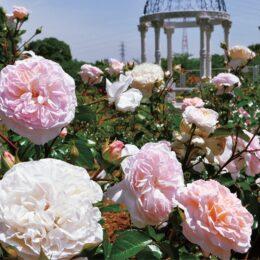 2021年も約1400株のバラが見頃@町田市:野津田公園ばら広場