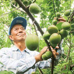 〈小田原曽我梅林の梅〉2021年は8年振りの豊作、大玉に!手作りの梅酒や梅干し作りに最適!