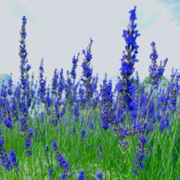 ハーブの芳香にうっとり 藤沢市の長久保公園都市緑化植物園は知ってる?