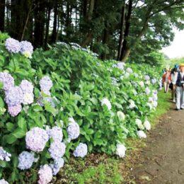 【申込不要】ウオークイベント「和泉川水辺のアジサイ巡り」全行程およそ6Km@ せや・ガイドの会 主催