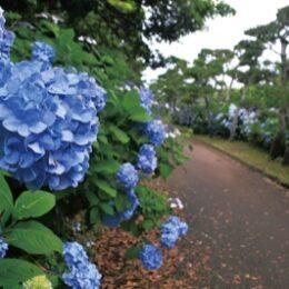 県立城ヶ島公園で鮮やかにアジサイ色づく