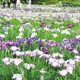 2021年も「横須賀しょうぶ園」14万株が咲き競う!アジサイも順に初夏の花リレー
