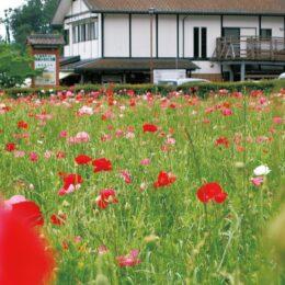 【秦野でお散歩】田原ふるさと公園で、里山彩るポピー見ごろに