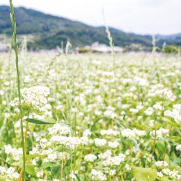 【秦野でお散歩】丹沢そばの農園で、風に揺れる白いそばの花