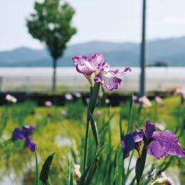〈大井町せせらぎの郷花菖蒲園〉紫や白など2300株の花ショウブが見頃!
