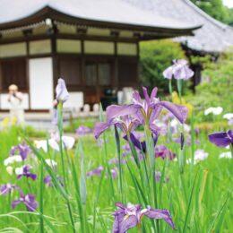 【横浜市都筑区】涼やかに初夏告げる 正覚寺でハナショウブ見頃