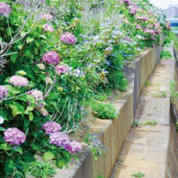 【横浜市都筑区】徐々に色づき大輪も 大熊川沿いの「あじさい緑道」