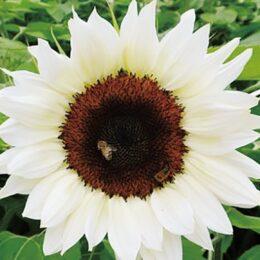 2021年6月13日『座間市の花』紅白のひまわり 植栽ボランティア募集