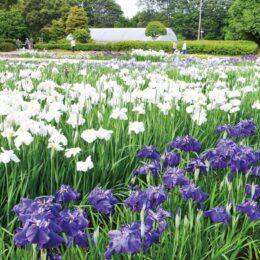 2021年も紫色やピンク、白に色づいた118品種 2万超の花菖蒲が見頃【相模原市南区:相模原公園】