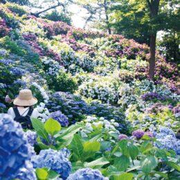 〈小田原城址公園〉アジサイの色彩 満載に!見頃は6月末まで