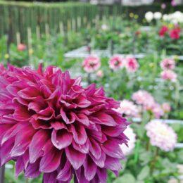 ダリア園の2021年一番花が咲き始めました【町田市山崎町:町田ダリア園】