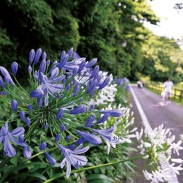 くりはま花の国で「アガパンサス」が梅雨に映える