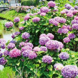 1800株のアジサイが河内川の堤防敷で色鮮やかに見ごろを迎える@平塚市