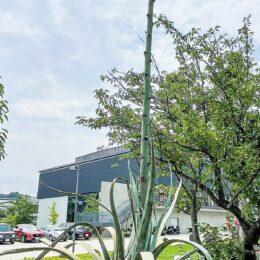 鎌倉市大船中学校『リュウゼツラン』植樹52年で初開花