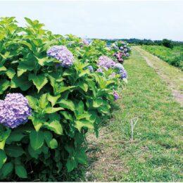 【秦野でお散歩】地域住民が作った花の道 「鶴巻あじさい散歩道」