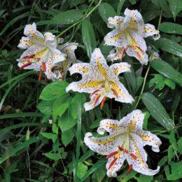 【秦野でお散歩】自然観察施設くずはの家の緑地でヤマユリが見ごろ