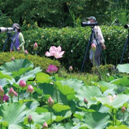 『ハスの花が見ごろ』一瞬の競演美、逃すまい!@綾瀬市蟹ヶ谷公園
