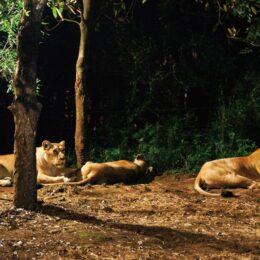 【要事前予約】2021年ズーラシア 2年ぶりの「夜の動物園」 ライトアップや夜市も開催