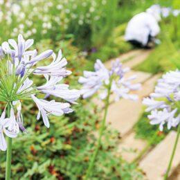<川崎市麻生区>涼しげに咲く青紫色のアガパンサスが見頃!周囲にはラベンダーも咲く