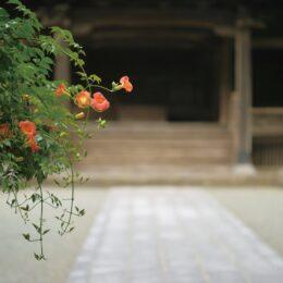 夏告げる『ノウゼンカズラ』花盛りへ[鎌倉の妙本寺]