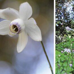 (厚木市)荻野運動公園・野草園「森の妖精」が開花 レンゲショウマ見頃に