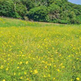 花の名所「くりはま花の国」で100万本以上のコスモスが咲き乱れる『レモンブライト』が今見頃