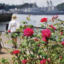 「秋のローズフェスタ」横須賀ヴェルニー公園で華麗なバラ1700株が開花 9月23日からイベントも開催予定