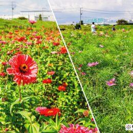 百日草と秋桜の共演は9月下旬が見頃に@平塚市イシックス馬入のお花畑